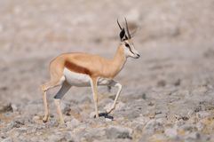 Springbock, etosha nationalpark, namibia Royalty Free Stock Photos