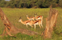 Springbock - Hintergrund der wild lebenden Tiere - Natur-Porträt Lizenzfreie Stockfotos