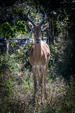 Springbock i busken fotografering för bildbyråer