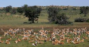 Springbock i kalahari, Sydafrika djurliv