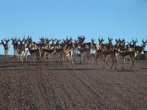 Springbock im Kalahari Lizenzfreies Stockbild