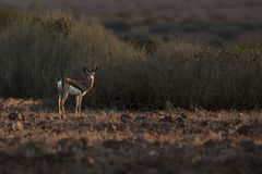 Springbock im netten Licht Palmwag, Kaokoland, Kunene-Region naphtha Raue Landschaft Horizontales Bild stockfoto