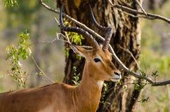 Springbock-Kalb, das vorsichtig die Touristen aufpasst Lizenzfreie Stockfotos