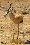 Springbock mit den Hörnern, die in Nationalpark Etosha schauen Stockfotografie