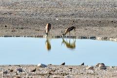 Springbock in Nationalpark Etosha Lizenzfreie Stockfotografie