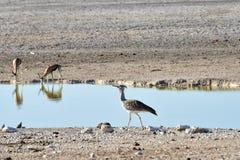 Springbock in Nationalpark Etosha Stockfotografie