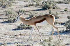Springbock in Nationalpark Etosha Lizenzfreies Stockbild