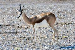 Springbock in Nationalpark Etosha Lizenzfreie Stockbilder