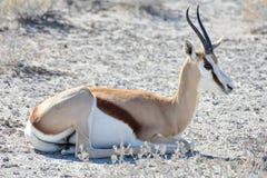 Springbock in Nationalpark Etosha Lizenzfreie Stockfotos
