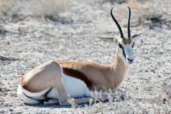 Springbock in Nationalpark Etosha Stockbilder
