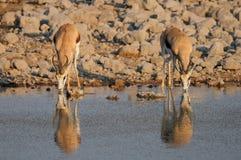 Springbock-Paare, die auf einem waterhole, etosha nationalpark trinken lizenzfreies stockfoto