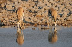 Springbock pair drinking on a waterhole, etosha nationalpark royalty free stock photo