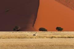 Springbock som framme står av en röd dyn i Sossusvlei, Namibia Royaltyfri Fotografi