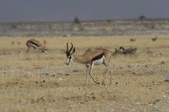 Springbock som går i den Etosha nationalparken, Namibia Royaltyfria Bilder