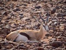 Springbock som lägger i stenig terräng på det Palmwag medgivandet av Damaraland, Namibia, sydliga Afrika Arkivbilder