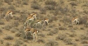 Springbockantilopen auf Sanddüne stock video footage
