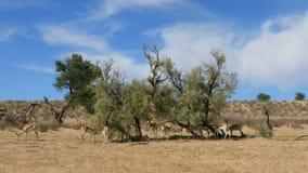 Springbockantilopen, die auf einen Baum einziehen stock video footage