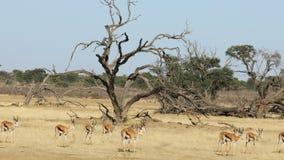 Springbockantilopen, die in Linie gehen stock video footage