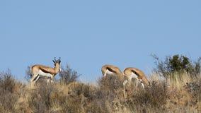 Springbockantilopen im natürlichen Lebensraum stock video