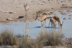 Springbockar på waterhole Royaltyfri Bild