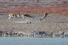 Springbockar som slåss i den Etosha nationalparken, Namibia, Afrika arkivfoton