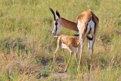Springbocken - afrikansk djurlivbakgrund - behandla som ett barn djur och deras mammor Royaltyfri Fotografi