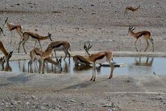 Springbocken i Etosha parkerar, Namibia Arkivbild