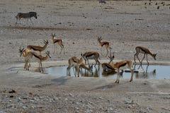 Springbocken i Etosha parkerar, Namibia Arkivfoton