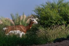 Springbok standing in the grass with a blue sky background. royalty free stock photos