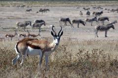Springbok Royalty-vrije Stock Fotografie
