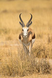 Springbok. In grass,  Etosha, Namibia Stock Photography
