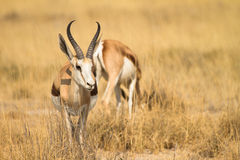 Springbok. In grass,  Safari Etosha, Namibia Africa Stock Photography