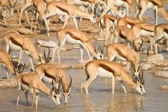 Springbok Stock Images