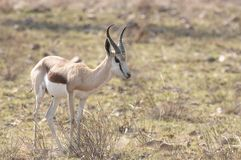 Springbok Stock Photos