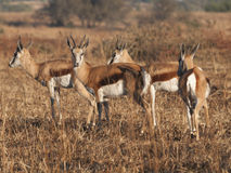 Springbok. Group of male Springbok on partially burnt veld background Royalty Free Stock Photography