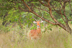 Springbok. Antelope in the bush next to a branch Royalty Free Stock Photo