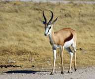 Springbok. A springbox in the wild in Namibia, Africa Royalty Free Stock Image