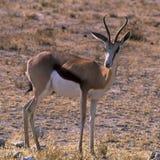 Springbok Image libre de droits