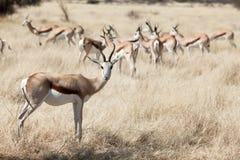 Springbok. In the national park Namibia Stock Photos