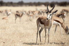 Springbok. In the national park Namibia Royalty Free Stock Images