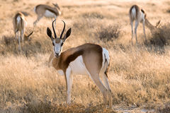 Springbok. In the national park Namibia Royalty Free Stock Photos