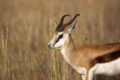 Springbok. A portrait of a Springbok, Mountain Zebra National Park Stock Image