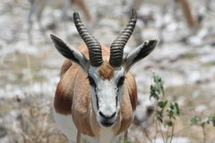 Springbok Royalty Free Stock Photography