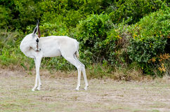 Springbok Royalty Free Stock Photos