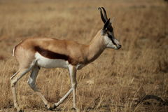Springbok. Ram is a medium sized antelope and easily recognizable by it's striking body colouring – white belly, dark brown stripe on flank and cinnamon Stock Image