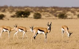 Springbok Photographie stock