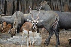 springbok Fotografia Stock Libera da Diritti