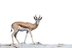 springbok Photos libres de droits