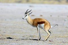 Free Springbok Stock Photo - 43714960