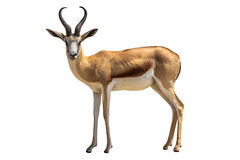 springbok Foto de archivo libre de regalías
